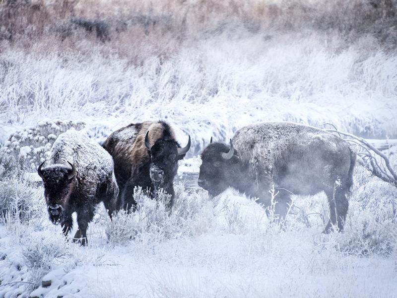 yellowstone-inverno-viaggio-fotografico-gayser-natura-bisonti